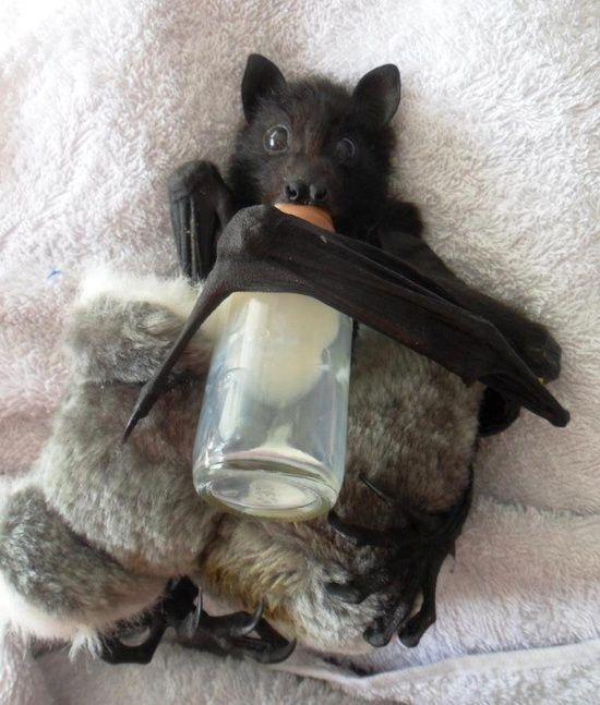 Baby bat enjoying a bottle & plushie toy -Bébé chauve-souris prenant son biberon.