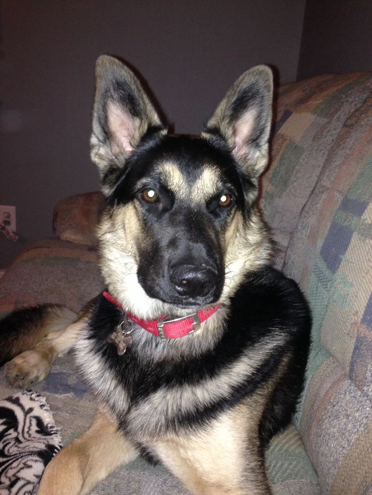 German Shepard and timber wolf mix | Animals | Pinterest | Timber Wolf ...