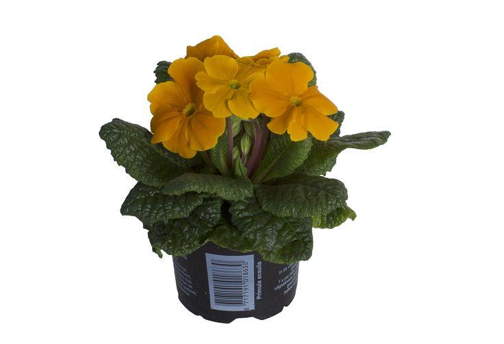 Primula Acaulis Orange