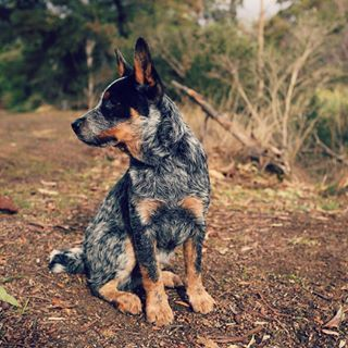 """Alright, it's time to talk about the beauty that is the Blue Heeler. 