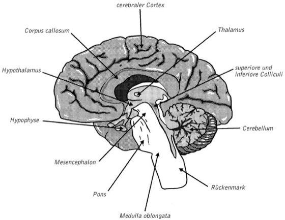 Zentralnervensystem - Lexikon der Psychologie
