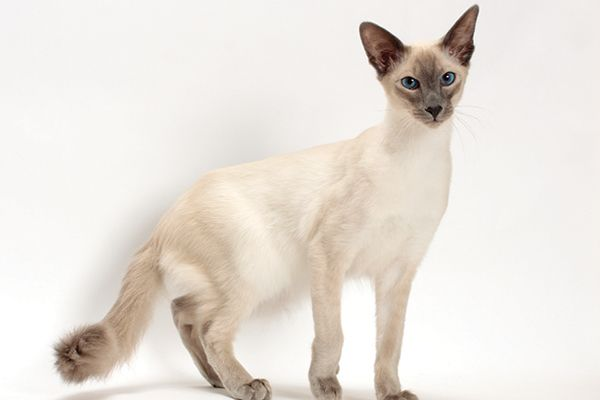 All About The Balinese Cat Breed Cat Allergies Balinese Cat Cat Breeds Hypoallergenic
