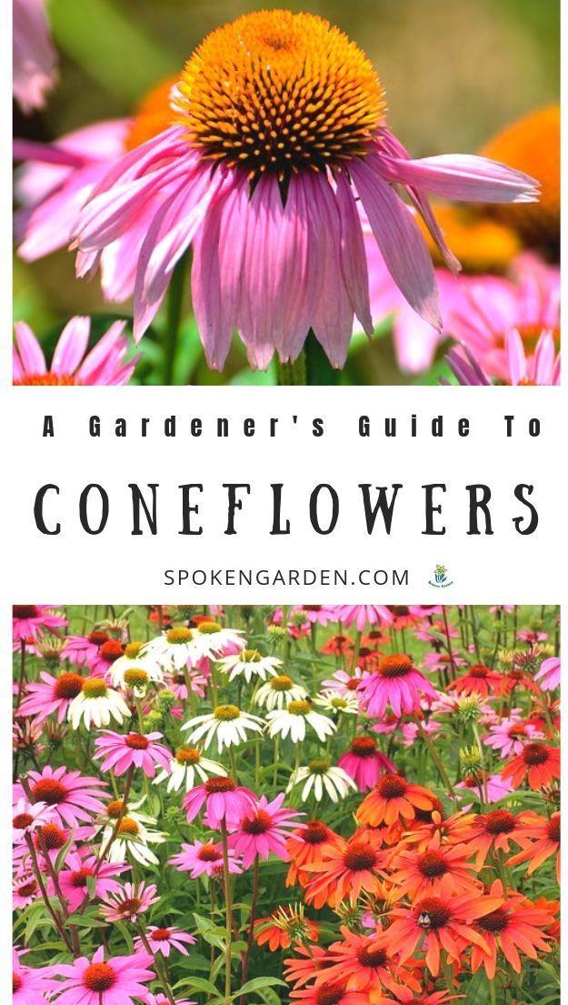 Coneflowers Echinacea A Gardener S Guide And Plant Profile Spoken Garden Fall Flowers Garden Drought Tolerant Perennials Echinacea