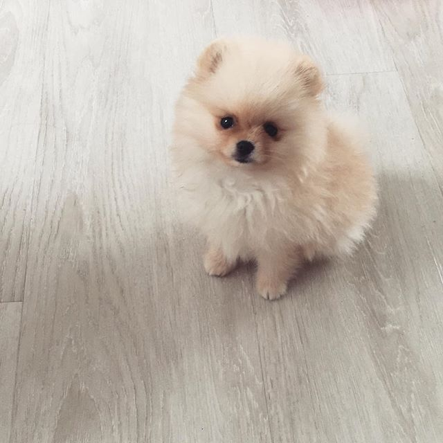 Hey @stellathepom__ Double tap to ❤️ Follow for more cute pics @thedailypomeranian Find us on Facebook - link in our bio Follow our partner @cool.angel369_ ❤️ #pomeranian