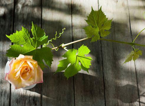 """ВИНОГРАД: С КАКИМИ РАСТЕНИЯМИ САЖАТЬ РЯДОМ? Значительные исследования на тему совместимости растений с виноградом провел известный австрийский виноградарь Ленц Мозер, который испытал более 170 культурных и диких растений и изложил свои выводы в книге """"Виноградарство по-новому"""". Лоза, растущая у него на чистой почве, далеко не всегда чувствовала себя лучше, чем с соседями."""