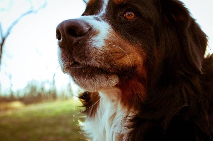 Bear the #bernesemountaindog.... hanging out with me in the yard. One of my best friends! My buddy my pal my friend. #doggiebff  #brownfootbear #brownfootbearphotography #photography #gunnarwilliamsphotography #gunnwilliams #dog #dogs #dogsofinstagram #dogoftheday #woof #mustlovedogs #withdog #love #boyandhisdog #KansasCity #kc #Kansas #ks #kansasphotos #art #dogart #berner #mybuddymypalmyfriend