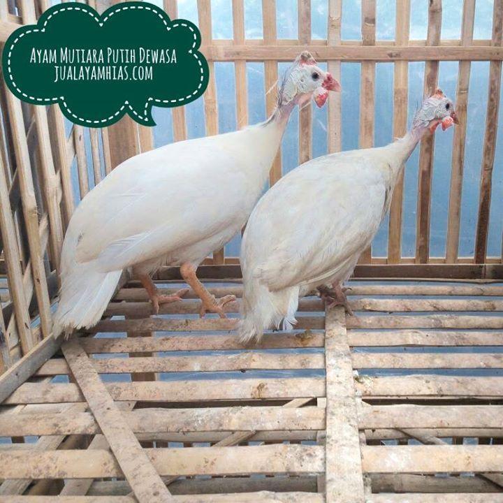 Ayam Mutiara Putih Dewasa Sepasang Siap Terbang pesanan Ibu Jeane di Gorontalo