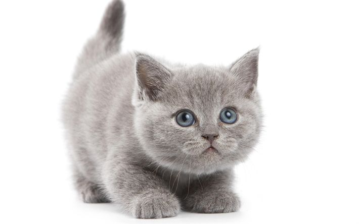 Download wallpapers British Shorthair Cat, kitten, 4k, cute animals, pets, gray fluffy kitten, cats