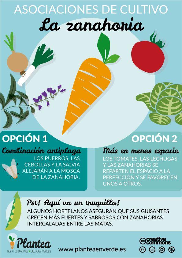 Asociacion de cultivos zanahoria en los #huertos
