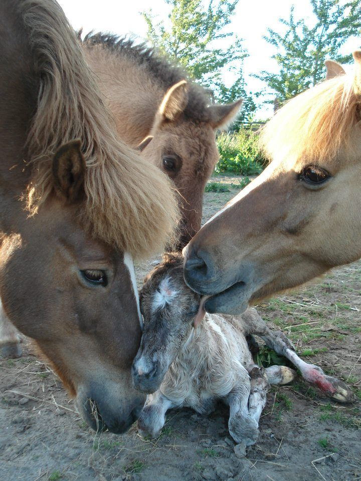Say hello to the new baby! Icelandic Horses, the only breed of