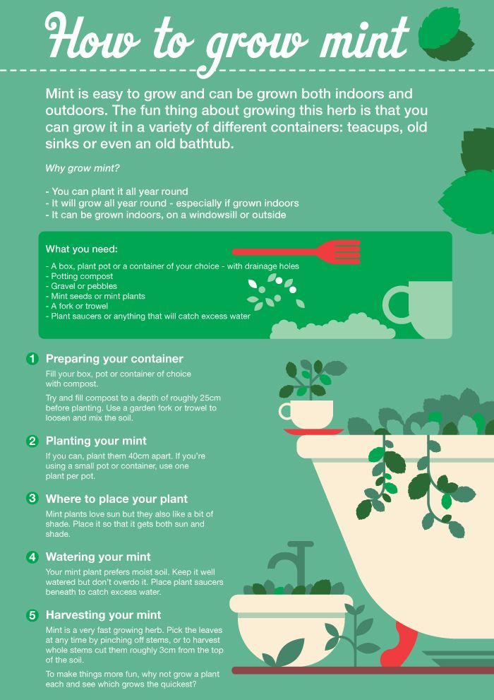 Grow your own mint Infographic from Sainsburys Bank