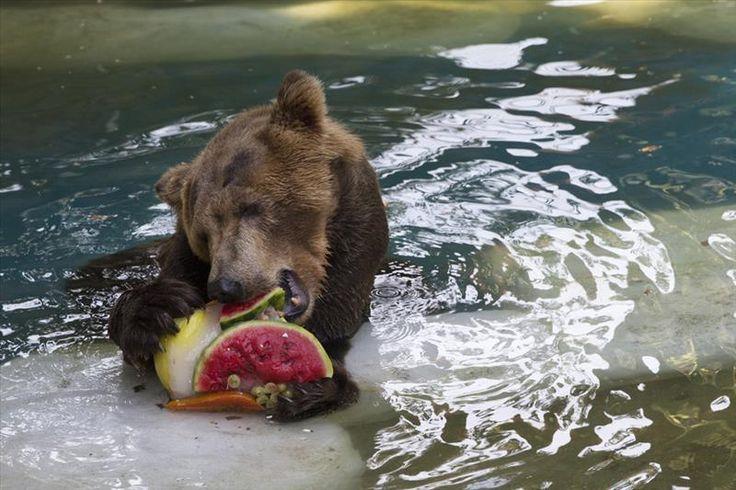 Los animales recibieron bocadillos congelados debido al intenso calor en el zoológico de Río de Janeiro, Brasil.  | Foto/ AP