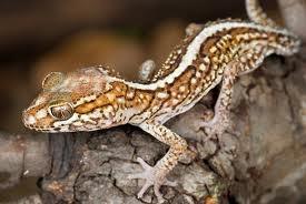 Pareodurapictus gecko