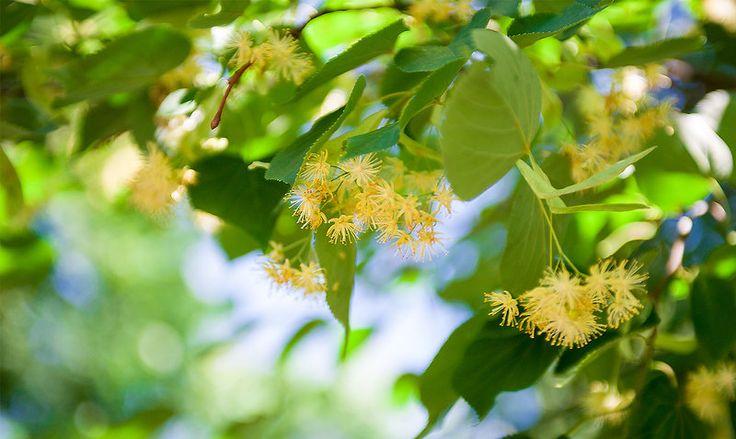 Травы для похудения - омела и липа
