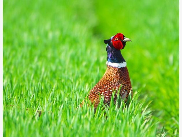 Fasan mitten im Gras