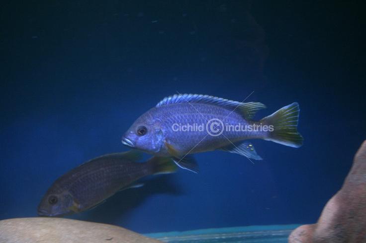 Pseudotropheus sp. Acei Msuli