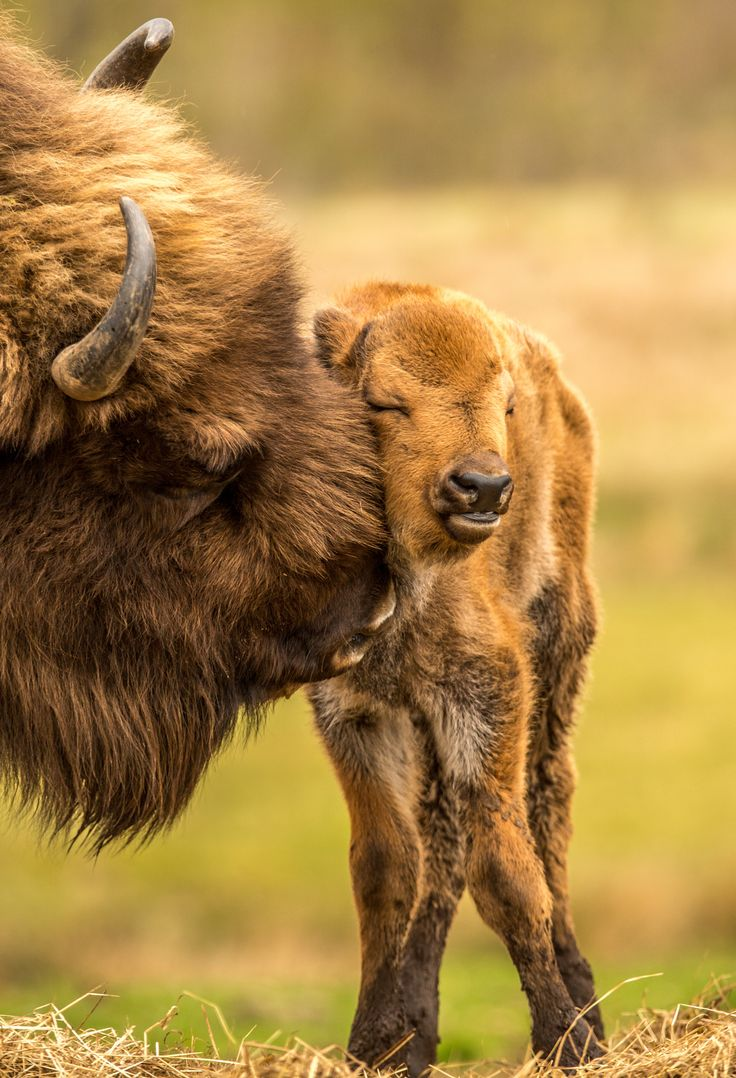 A Bison Mom ~ With Her Young Calf.