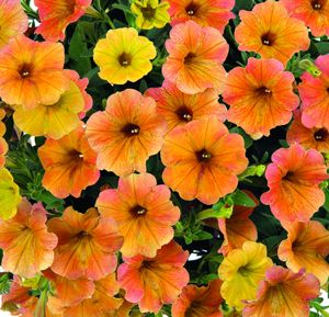 Our 'Cascadias™ Indian Summer' Petunia Plant debuted at the CA trials and was a stand-out! The large, lightly ruffled, velvety blossoms are a mixed bag of Indian summer colors, ranging from yellow to orange to pink…and even terra cotta. Blooming early and staying long, this trailing beauty will have your visitors taking a closer look to see if that color is really on a petunia! Each 3-inch pot contains one Cascadias Indian Summer Petunia Plant.