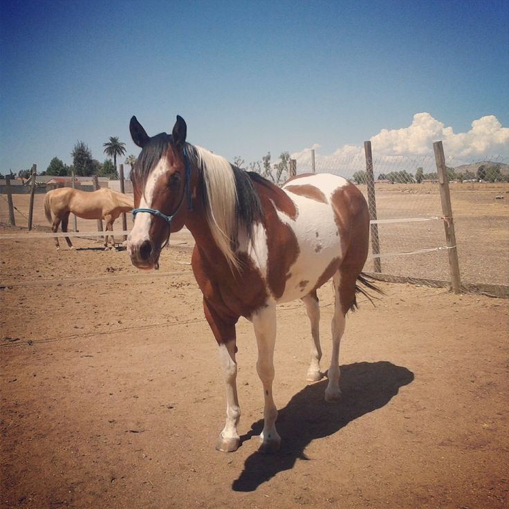 My Bay Tobiano Tri-Color APHA. Lady Liberty. Paint Horse ...