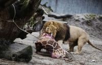 Kisah seekor jerapah yang dibunuh untuk makanan singa di sebuah kebun binatang.