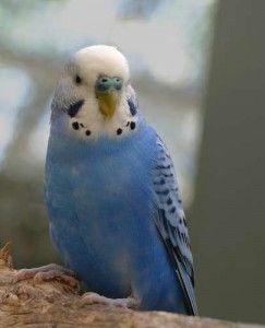 Blue Parakeet (Budgie)