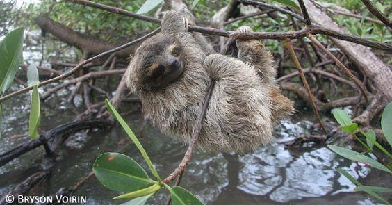 Panama: folla inferocita salva 8 bradipi pigmei dalla cattivita' (video)