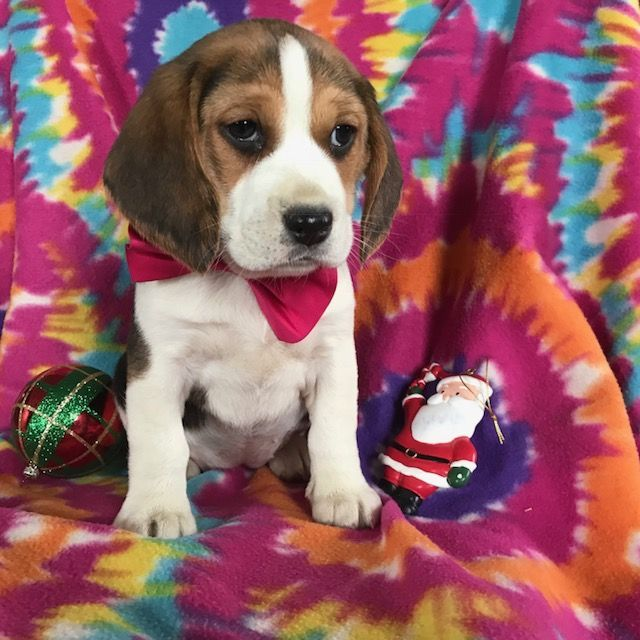 Beagle Puppy For Sale In East Earl Pa Adn 56428 On Puppyfinder