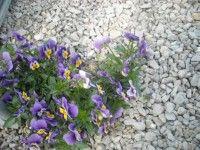 Viola del pensiero - Viola tricolor proprietà