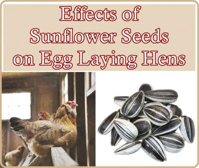 The effects of Sunflower Seeds on egg laying hens in a chicken flock can benefit a homestead's egg production therefore helping the family to become more s