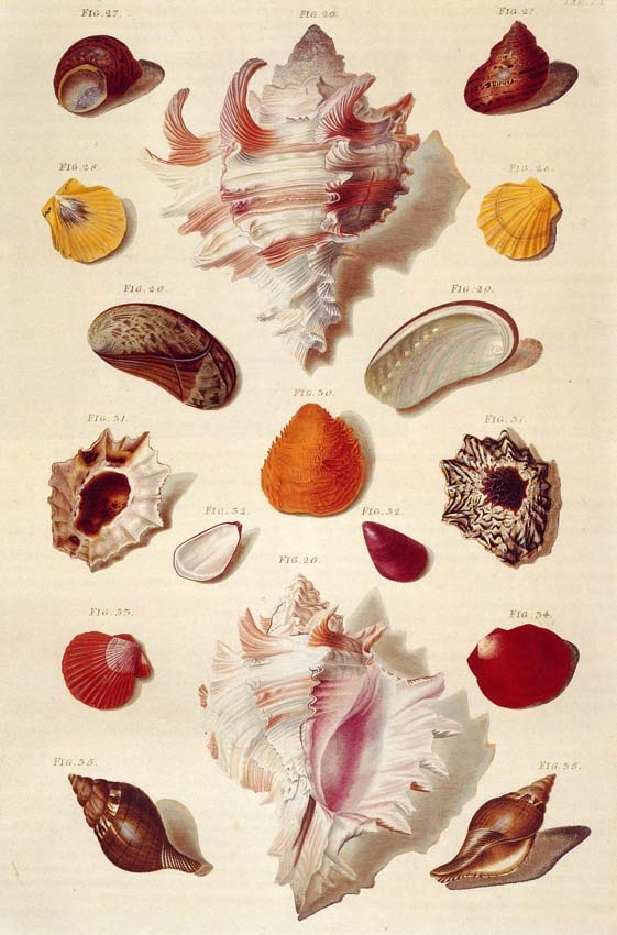 beautiful sea shell illustration