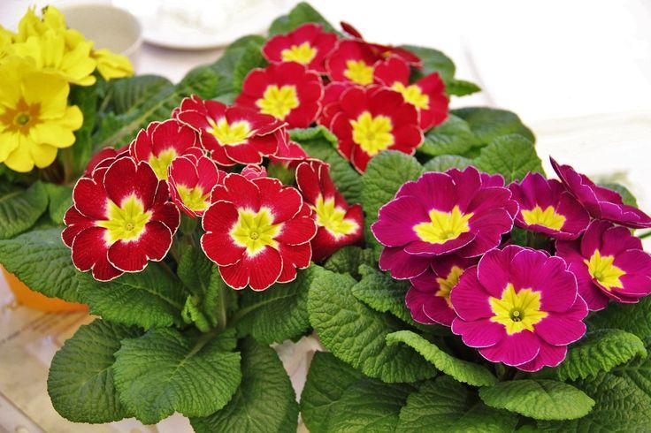 Primula este una dintre cele mai iubite flori ale romanilor. Colorata, vesela si plina de simboluri pozitive, primulele dau viata incaperilor.