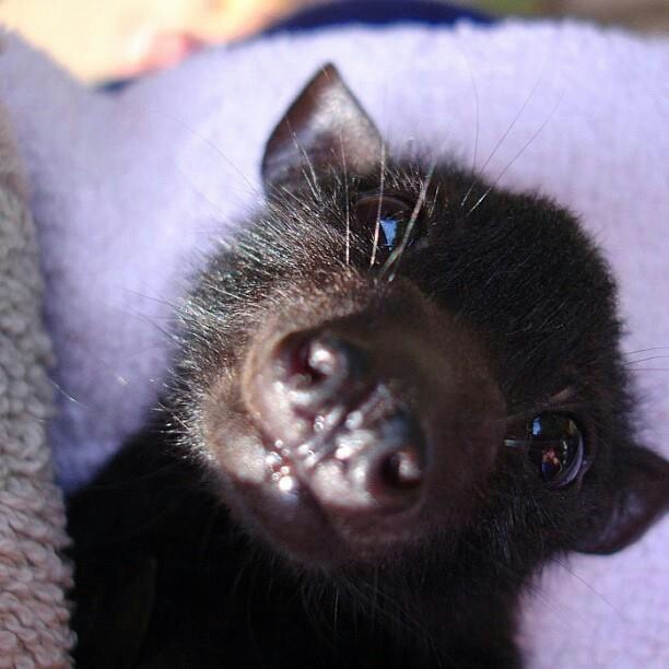 Baby bat...this reminds me of my dog, so much...lol.....#hiphop #beats updated daily => http://www.beatzbylekz.ca