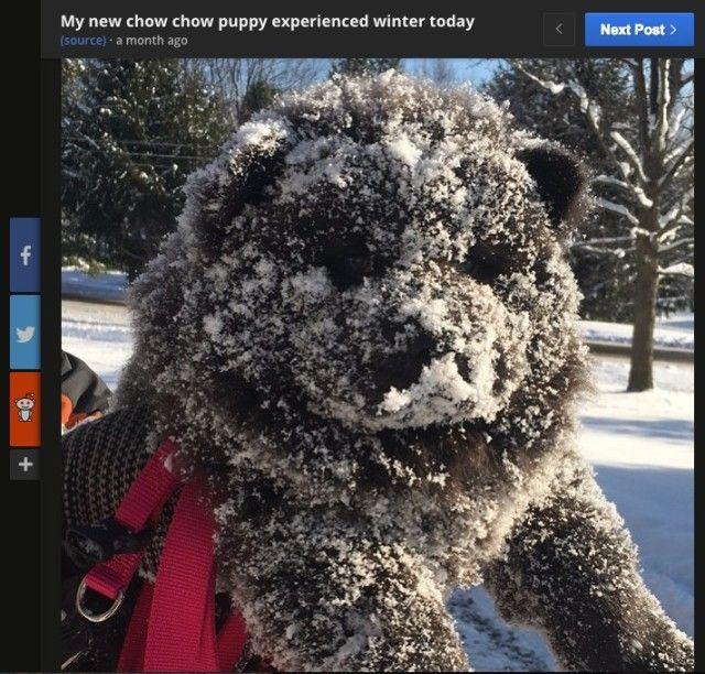 """厚手のコートを着ているかのような、もっふもふの毛並みが特徴。誰もがモフりたい欲にかられる """"魅惑のボディー"""" をお持ちのチャウチャウ犬の子供が、初めての雪を前に大興奮。 その様子が画像共有サイト「Imgur」..."""