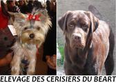 Annuaire Polytrans - Fiche : Elevage DES CERISIERS DU BEART Labrador chocolat, Yorkshire Terrier et English Springer Spaniel*