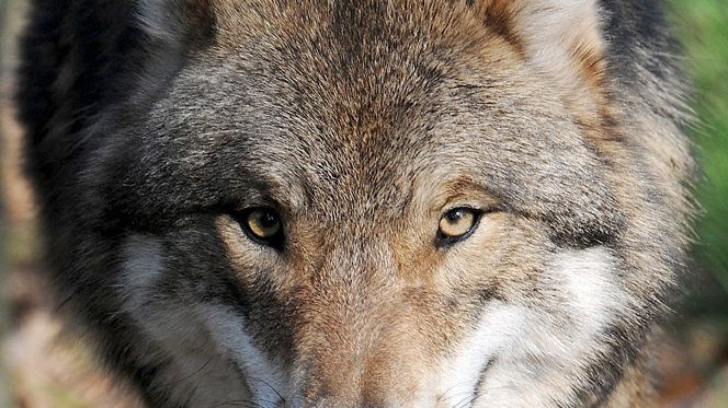 The wolf is a protected species under the Washington Convention on Species Protection, as well as under the Berne Convention.