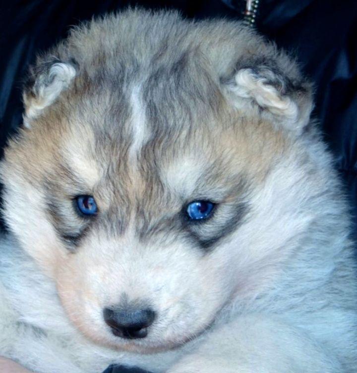 Siberian Husky puppy for sale in TULSA, OK. ADN-49256 on PuppyFinder.com Gender: Male. Age: 3 Weeks Old