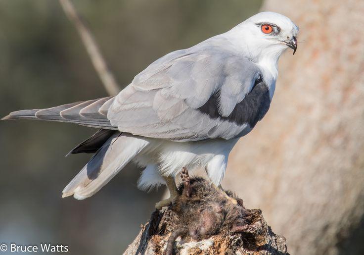 Black-shouldered Kite - Crowdy Head