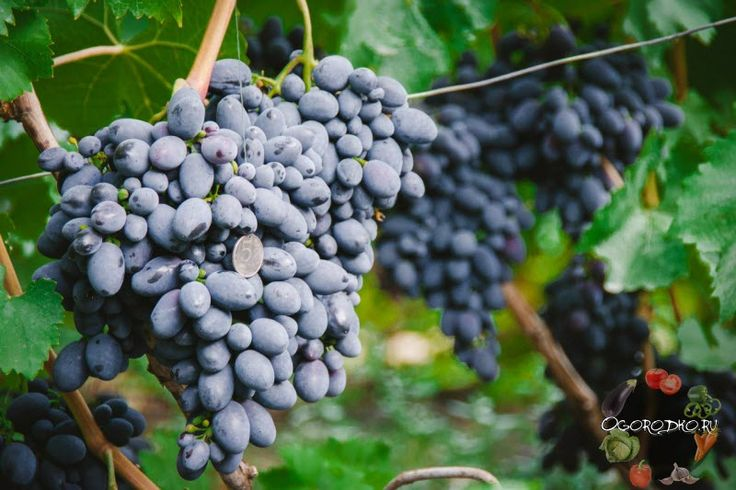 Виноград Кодрянка – особенности сорта, как вырастить богатый урожай, как проводится посадка, обрезка и уход, для чего нужна нагрузка глазками, морозостойкость