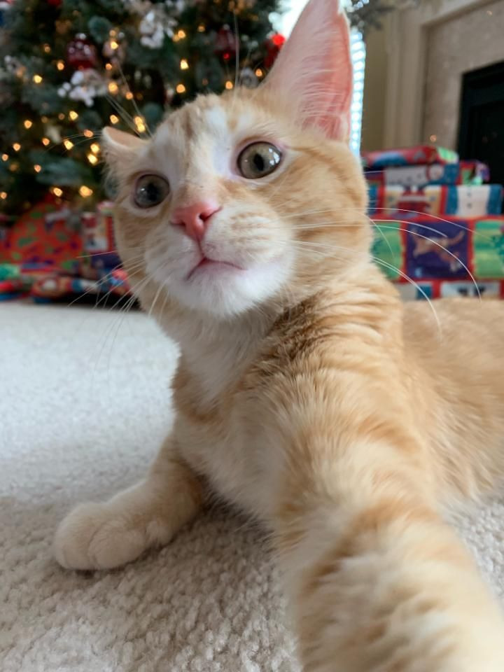 My Boy S First Christmas Since We Found Him My Sister Took The Pic At The Perfect Time Cute Cats And Dogs Kitten Pictures Christmas Cats