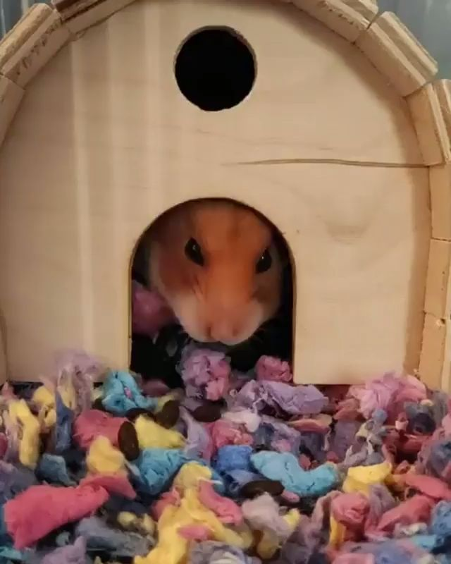 Hamster Cage Size Calculator [Video] Cute hamsters, Cool