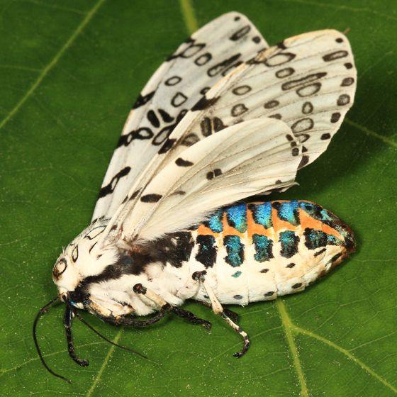 Giant Leopard Moth - Hypercompe scribonia - Inspiration - the picture doesn't do the creature justice for it's coloring.  It is stunning in person.  Love the shape of the markings too.