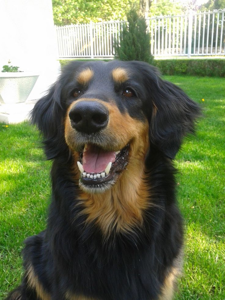 My beautiful Hovawart :)   http://ift.tt/2dj3VYe via /r/dogpictures http://ift.tt/2dWP57A  #lovabledogsaroundtheworld