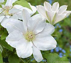 Clématite 'Chantilly' Feuillage caduc À savoir : elle offre une floraison en deux temps mai-juin, puis août- septembre (si on la taille peu), mais ses pousses restent plus compactes et la floraison est plus concentrée, donc plus spectaculaire. On peut aussi la tailler court(25 cm) en février, ce qui lui permet de fleurir un peu plus tard mais pour longtemps, de juillet à septembre.