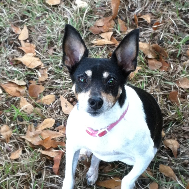 teacup rat terrier 9 best teacup puppies images on pinterest teacup puppies 9924