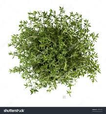 Image result for thyme plant