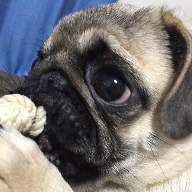 スマスマ最終回だね ママ見たがってるからいい子にしてるね あむあむ〜 ソファにおしっこしたけどね あむあむ〜 . . #pug#パグ#ぱぐ#パグスタグラム#鼻ぺちゃ#犬#子犬#愛犬#愛犬家#うめ#スマスマ#最終回#寂しい