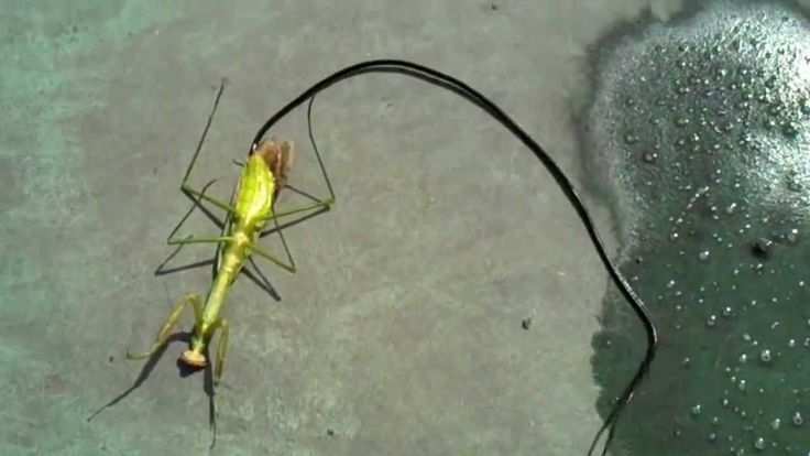 """This is a video showing a person killing a praying mantis virtually taken over by a huge parasite of the species Nematomorpha (horsehair worm). When the mantis dies, the parasite evacuates its host. These parasitic worms grow up to 100 cm in length, with extreme case specimens reaching 200 cm. The infection they infest their host with can 'program' the hosts brain and cause it to drown itself, returning the nematomorph parasite to water."" / this horrifying thing via kenyatta"