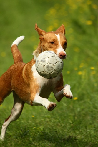 ~ dog playing soccer ~ #dog #plays #soccer... brought to you in part by www.StoneArtUSA.com ~ affordable custom pet memorials & more since 2001