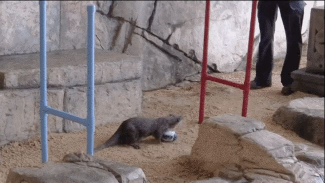This Otter Scoring A Try On A Tiny Rugby League Pitch Is The Cutest