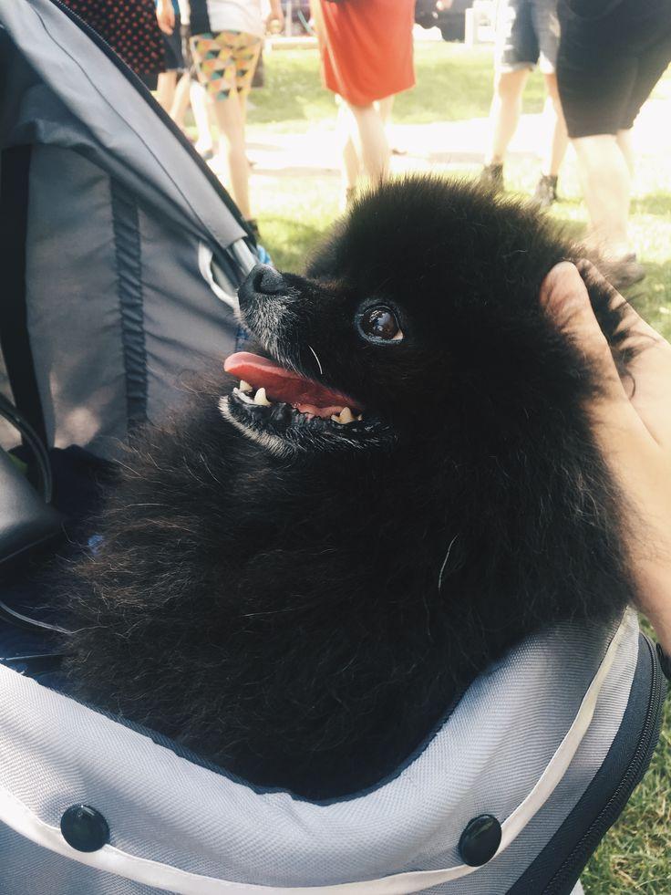 Cute Pomeranian dog